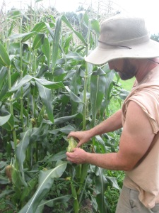 Bill checking the sweet corn on Friday—and determining that the first ears are ALMOST ready!