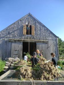 After the garlic was pulled in the field, it was brought in front of the barn to be sorted and bunched.  Then we used a 100-yr-old pulley to hoist it up to the third floor of the barn , where we pulled it through a big window/door cut for that very purpose.