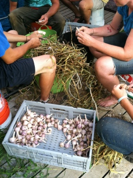 You know those ~ 10,000 heads of garlic we harvested?  Now it's time for them to get cleaned, one by one.  As they cure we bring them down from the barn, cut off their long stalks, and buff them up for CSA members.  It tends to be the final job on a harvest day and is a welcome seated activity after all the harvesting and hauling.