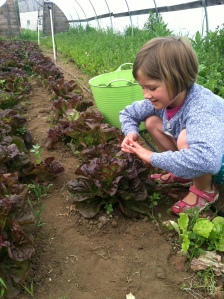 CJ harvesting lettuce heads in hoophouse #3 on Saturday morning.